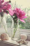 A peônia floresce em umas garrafas de leite na janela foto de stock