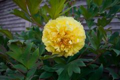 Pe?nia h?brida Bartzella amarelo de Itoh no jardim fotos de stock