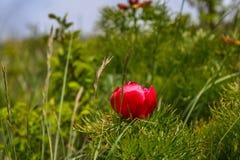 peônia Peônia-com folhas ou fino-com folhas foto de stock
