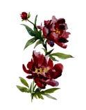 Peônias bonitas do vermelho de vinho no fundo branco Pintura da aguarela Fotos de Stock Royalty Free
