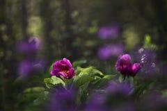 Peônias carmesins da floresta Imagem de Stock Royalty Free
