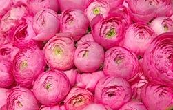 Peônias cor-de-rosa Fotografia de Stock Royalty Free