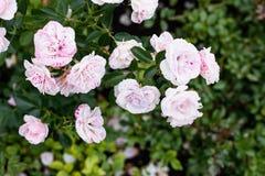 Peônias cor-de-rosa macias bonitas no jardim, um b natural bonito Foto de Stock