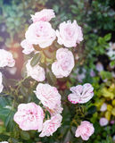 Peônias cor-de-rosa macias bonitas no jardim, um b natural bonito Fotografia de Stock