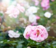 Peônias cor-de-rosa macias bonitas no jardim, um b natural bonito Imagem de Stock Royalty Free
