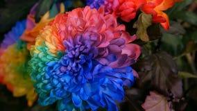 Pe?nias multi-coloridas interessantes incomuns bonitas do arco-?ris, margaridas, rosas Sele??o das flores, cor incomum da flor video estoque
