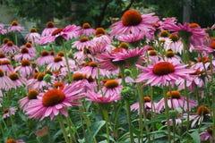 pełny kwiat Fotografia Royalty Free