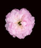 pełny kwiat Zdjęcie Royalty Free