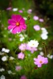 pełny kwiat kosmos Zdjęcia Royalty Free