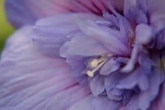 pełny kwiat kwiatów hibiskus Fotografia Stock