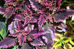 Pełny ramowy widok purpur i zieleni coleus Obrazy Royalty Free