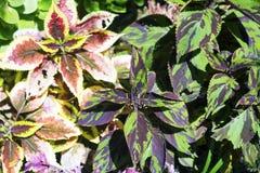 Pełny ramowy widok purpur i zieleni coleus Zdjęcie Stock