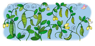 Pea. Flowering green pea and butterflies Royalty Free Stock Image