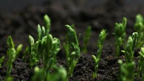 Pea Bean Seeds Agriculture Timelapse creciente almacen de video