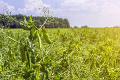 Pea beans on plants, in the field, against a background of pure sunny sky Royalty Free Stock Photography