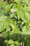 Pea Beans Pod Plant verde com flores foto de stock royalty free