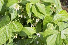 Pea Beans Pod Plant verde com flores fotos de stock