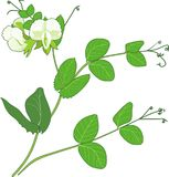 Pea branch with flowers and green leaves isolated on white background. Pea branch with white flowers and green leaves isolated on white background vector illustration