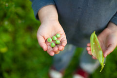 Pea child hand. Kid green organic five pieces stock photography