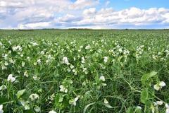 Pea Crop agricolo fotografia stock libera da diritti