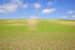 Pea crop and blue sky Stock Photos
