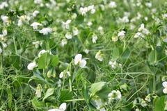 Pea Crop Close Up agricolo fotografie stock libere da diritti