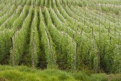 Pea crop Stock Image