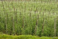 Pea crop Royalty Free Stock Photography