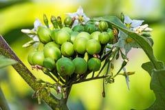 Pea Eggplant imagens de stock