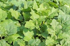 Pea eggplant leaf Stock Photography