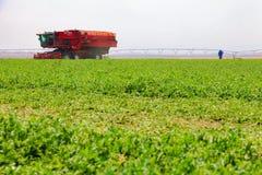 Pea Farming comercial com uma ceifeira de liga foto de stock