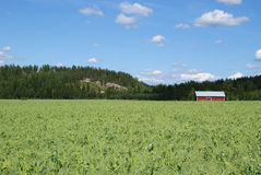 Pea Field. On a sunny day. On the right a red farm storage building. Photographed  in South of Finland Royalty Free Stock Photo