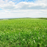 Pea field Stock Images