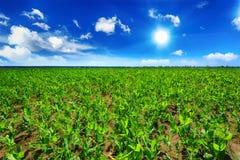 Pea field Stock Image
