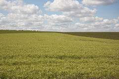 Pea field with blue sky; Stock Images