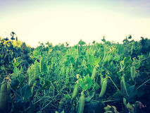Pea field  1 Royalty Free Stock Photography