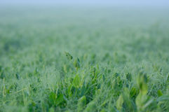 Pea field during a foggy sunrise Royalty Free Stock Photography