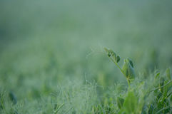 Pea field during a foggy sunrise Stock Photography