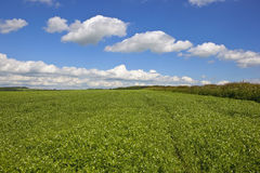 Pea field with hedgerow. A pea field with a hawthorn hedgerow in the scenic yorkshire wolds england under a blue cloudy sky in summer Stock Photography