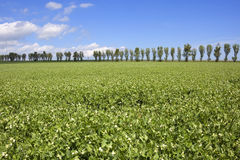 Pea field with poplar trees. Lagricultural landscape with a pea field with poplar trees on the horizon in summer under a blue  sky with white clouds Stock Images