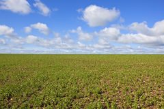 Pea field in springtime. A newly planted bean field with young plants in rows in chalky soil under a blue cloudy sky in springtime Stock Image