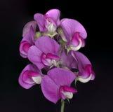 Pea Flower dulce salvaje Imagen de archivo libre de regalías