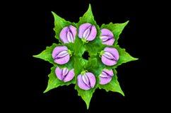 Pea flowers Stock Photography