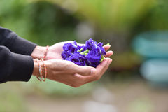 Pea flowers in hand Royalty Free Stock Photo