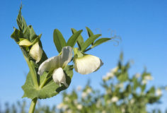 Pea flowers. An organic pea plant in flower Royalty Free Stock Images