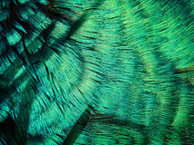 Pea Fowl Feathers. Macro view of green pea-fowl feathers Stock Photo