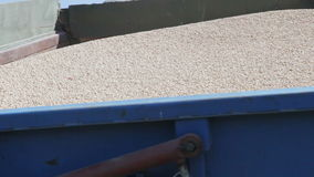 Pea grain is poured into the drill. Out of the truck near the tractor close up stock video