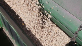 Pea grain is poured into the drill. Out of the truck near the tractor close up stock video footage