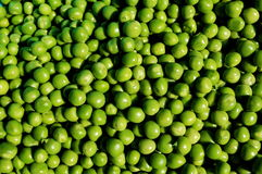 Pea grains. Photography of pea grains Royalty Free Stock Photography