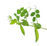 A pea the green growing on a branch Royalty Free Stock Images